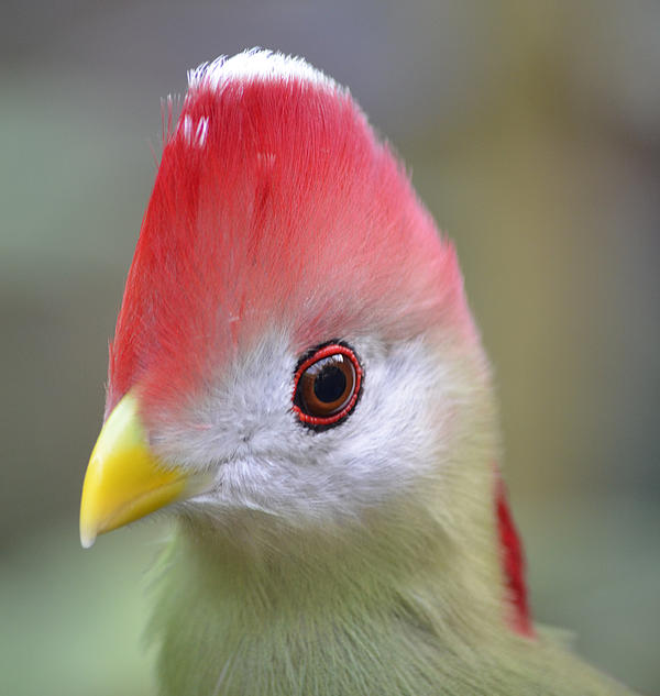 Red Crested Turaco Print by Richard Bryce and Family