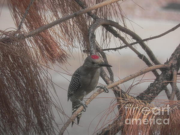 Chrisann Ellis - Red Crested Wood Pecker in AZ