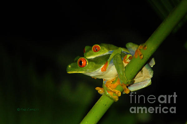 Sue Jarrett - Red-Eyed frogs