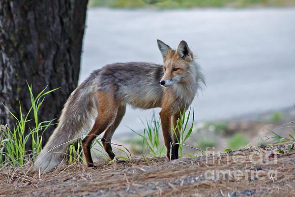 Red Fox Print by Robert Bales