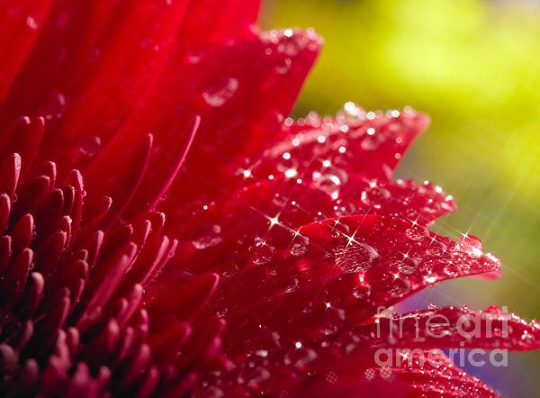 Red Gerbera Print by Boon Mee