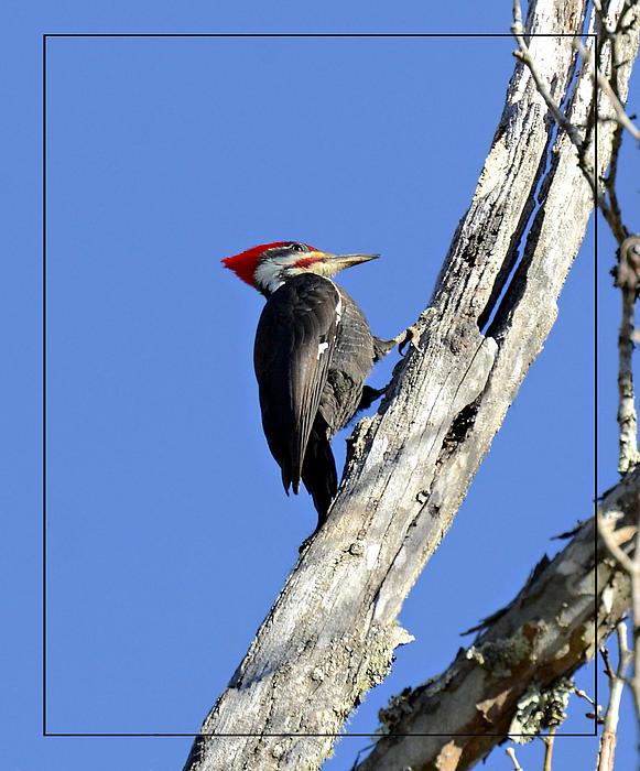 Red Headed Woodpecker Print by Susan Leggett