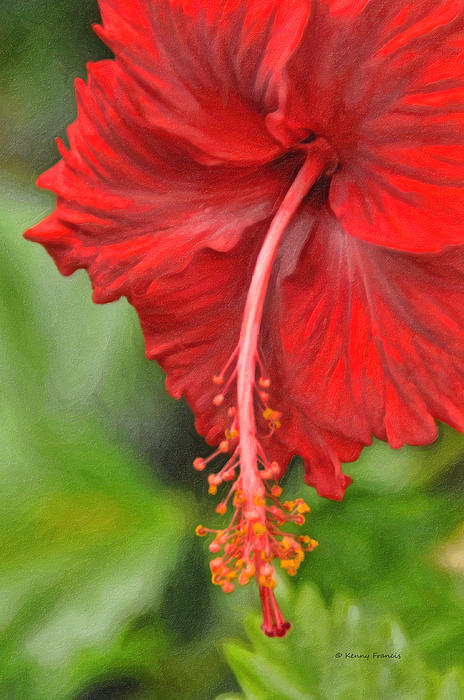 Kenny Francis - Red Hibiscus Bloom
