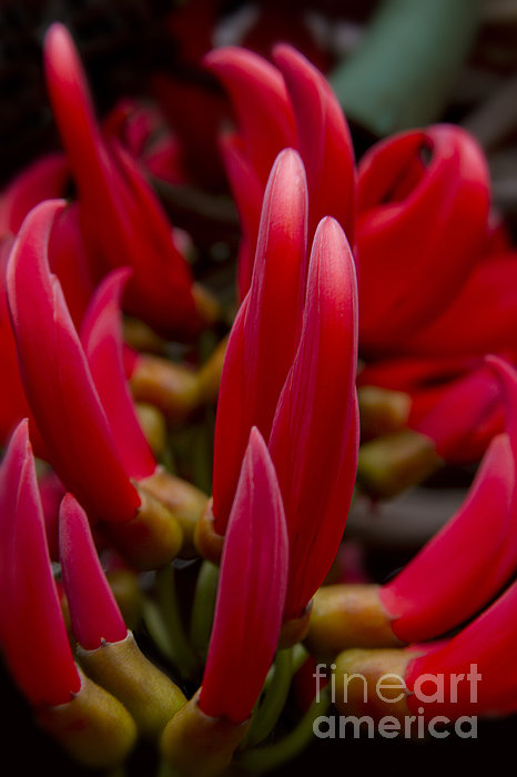 Red Jade Vine - Mucuna Bennettii - Flame Vine Print by Sharon Mau