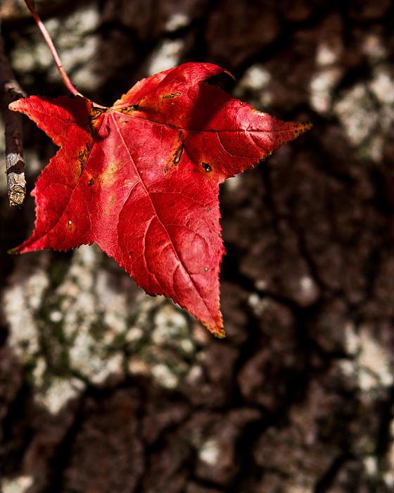Tom Gari Gallery-Three-Photography - Red Leaf