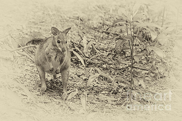 Wendy Townrow - Red Legged Pademelon in Australia