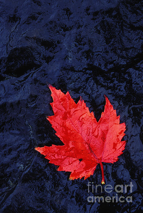 Red Maple Leaf And Black Stone - Fs000222 Print by Daniel Dempster