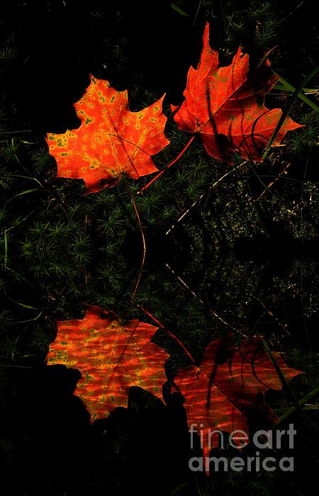 Marcia Lee Jones - Red Maple Leaves