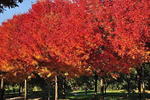 Gene Sherrill - Red Maples Ablaze
