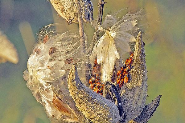 Red Milkweed Beetles Print by Constantine Gregory