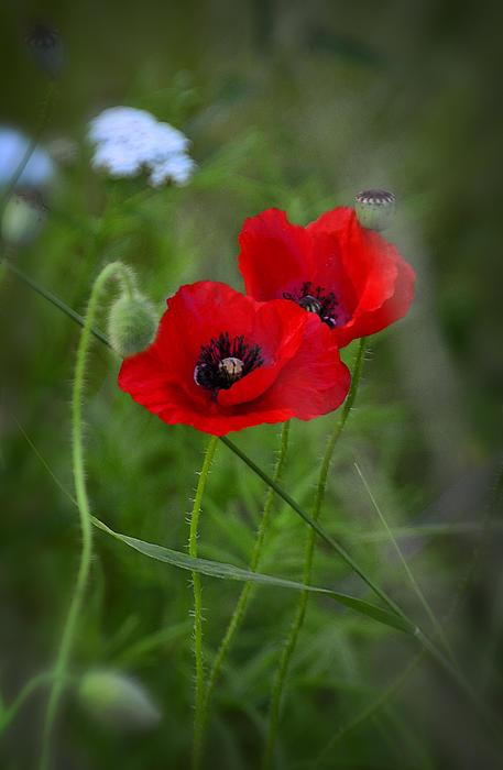 Saija  Lehtonen - Red Poppies