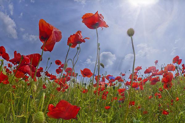 Red Poppy And Sunrays Print by Melanie Viola