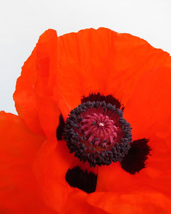 Ramona Johnston - Red Poppy