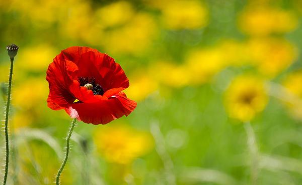 Saija  Lehtonen - Red Poppy