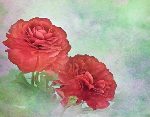Red Ranunculus Print by David and Carol Kelly