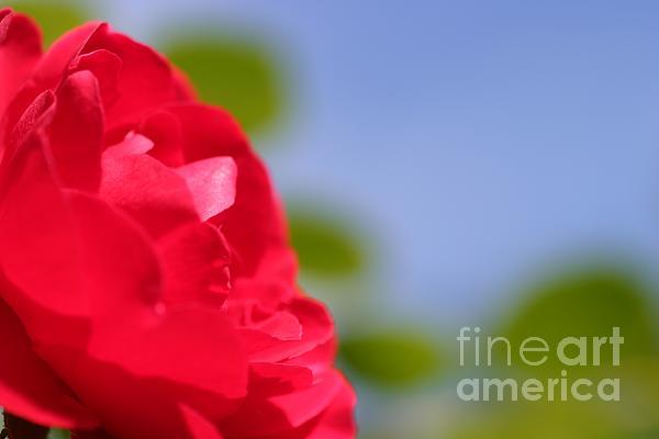 Red Rose Print by Henrik Lehnerer
