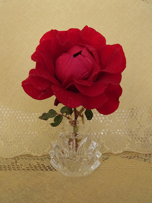 red rose III Print by Zina Stromberg