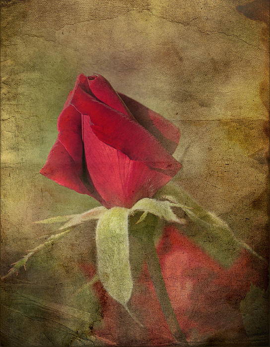 Ivelina G - Red Rose
