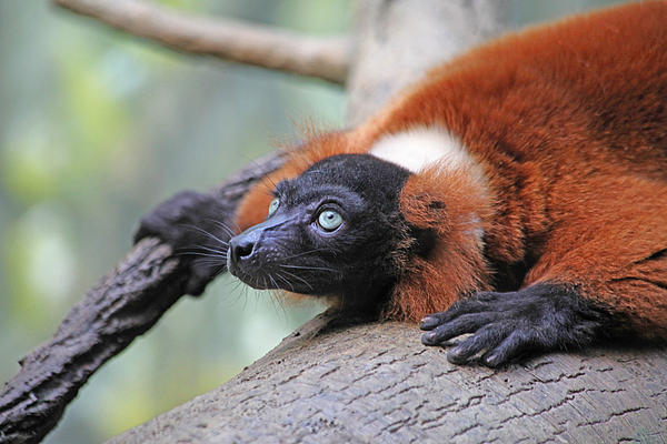 Red-ruffed Lemur Print by Karol  Livote