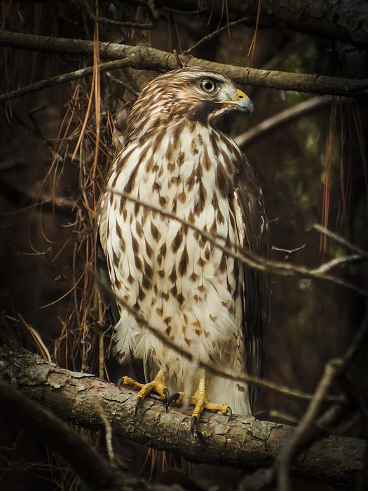 Karen Wiles - Red Shouldered Hawk
