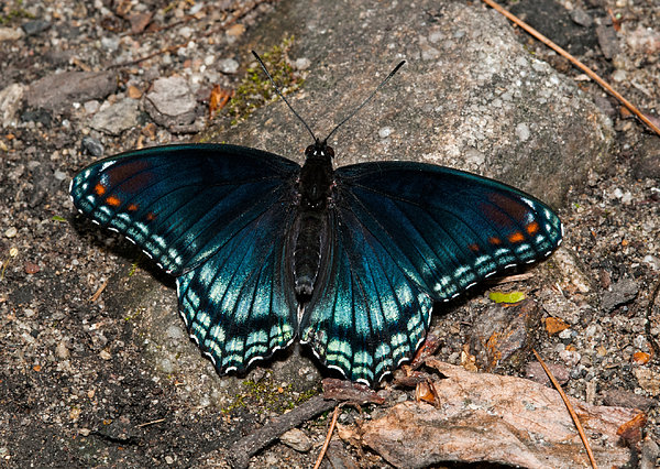 Red Spotted Purple Butterfly Print by Lara Ellis
