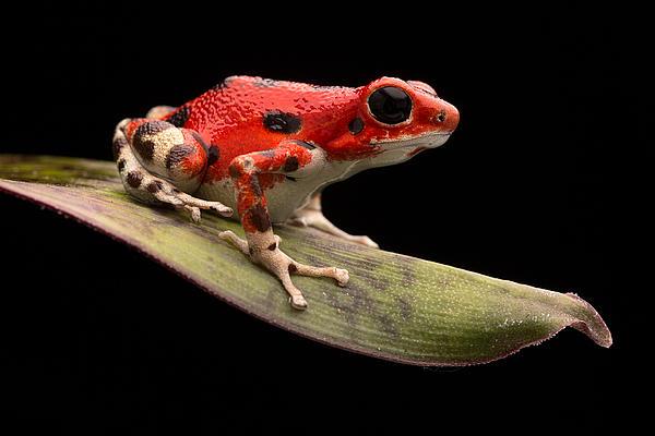 Red Strawberry Poison Dart Frog Print by Dirk Ercken