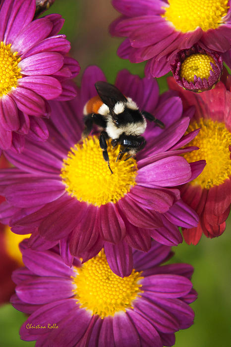 Red-tailed Bumble Bee Print by Christina Rollo