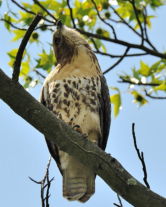 Red Tailed Hawk Juvy Print by Angel Cher