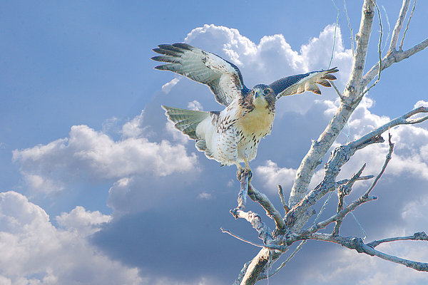 Red-tailed Hawk Pirouette Pose Print by Roy Williams