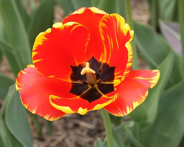Red Tulip At Brooklyn Botanical Gardens Print by John Telfer