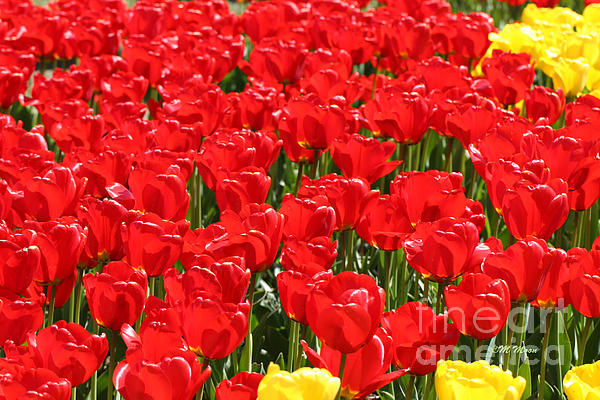 Red Tulip Field Print by Tap  On Photo