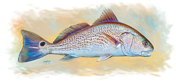 Redfish Illustration Print by Mike Savlen