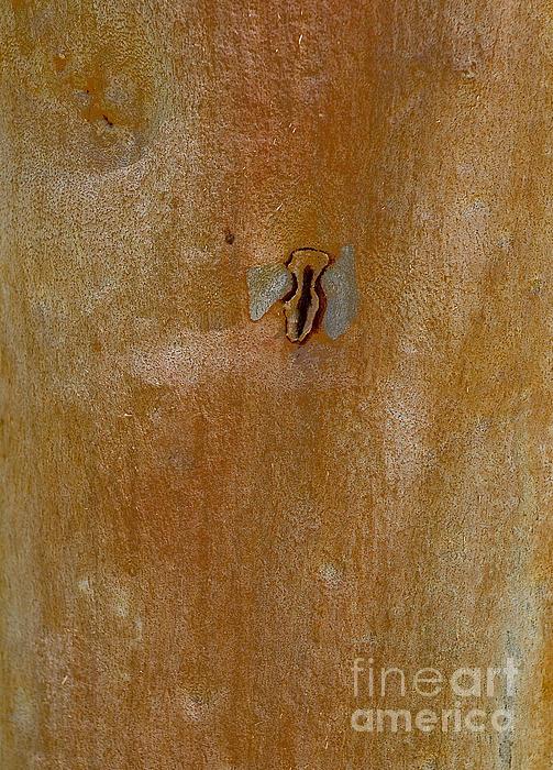 Redgum Tree Print by Steven Ralser