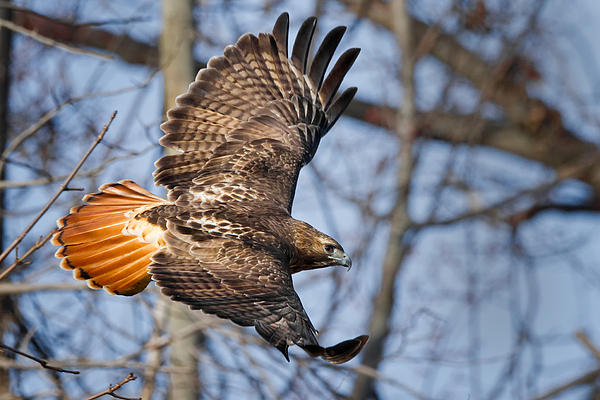 Redtail Hawk Print by Bill  Wakeley