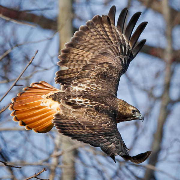 Redtail Hawk Square Print by Bill  Wakeley