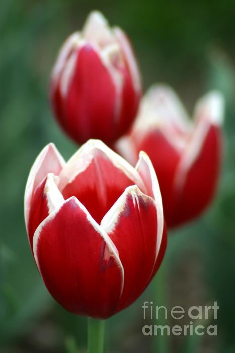 Redwhitetulips6838 Print by Gary Gingrich Galleries