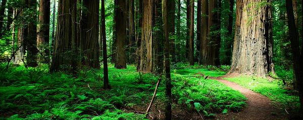 Redwood Path Print by Mark Hammon