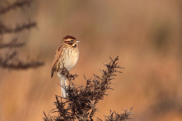 Reed Bunting Print by Peter Skelton