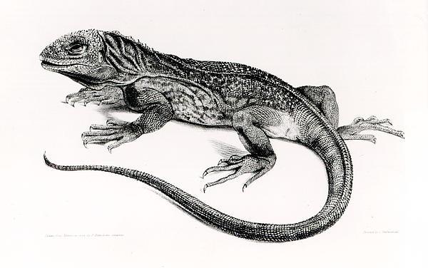 Reptile Print by English School