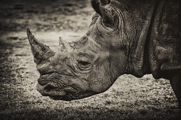 Kevin Cable - Rhino
