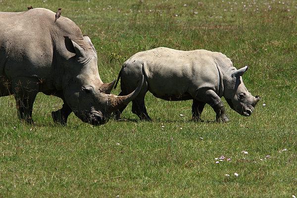 Rhinoceros Print by Aidan Moran