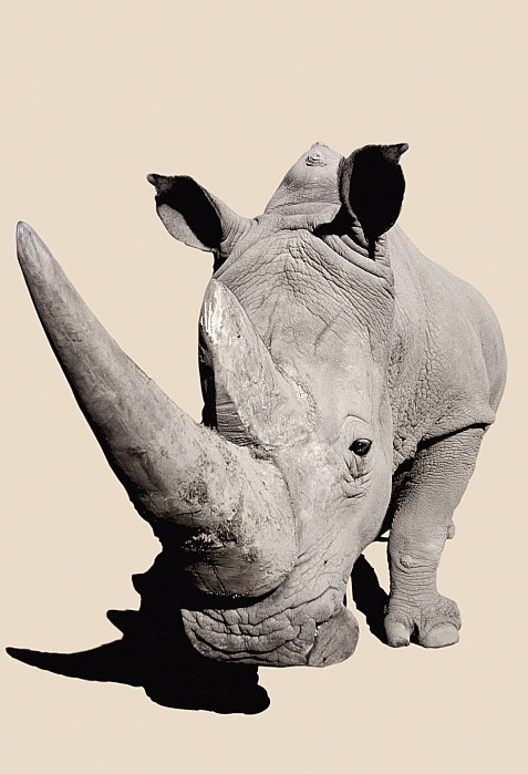 Rhinocerosafrica Print by Thomas Kitchin & Victoria Hurst
