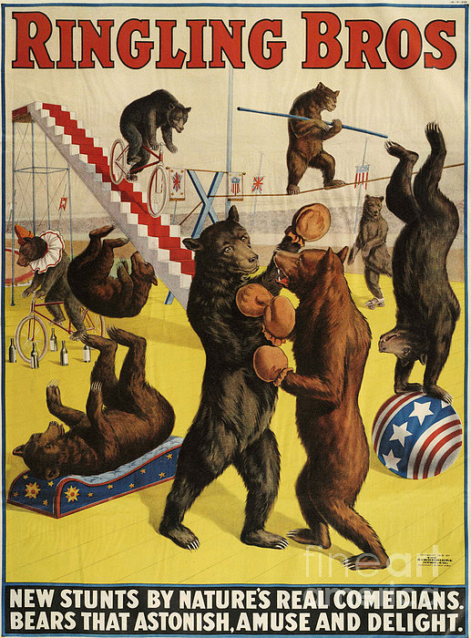 Ringling Bros 1900s Bears Performing Print by The Advertising Archives