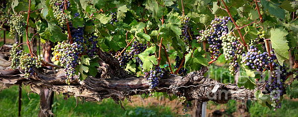Ripening Grapes Print by Carol Groenen