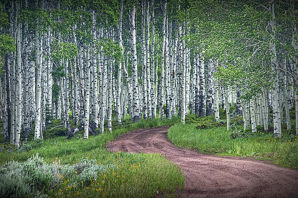 Randall Nyhof - Road through a Birch Tree Grove