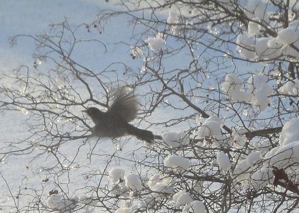 Guy Ricketts - Robin in Flight