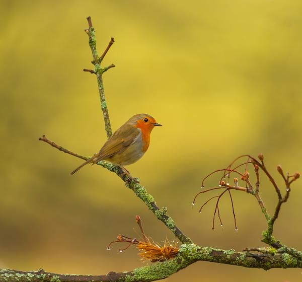 Rose-Maries Pictures - Robin Redbreast
