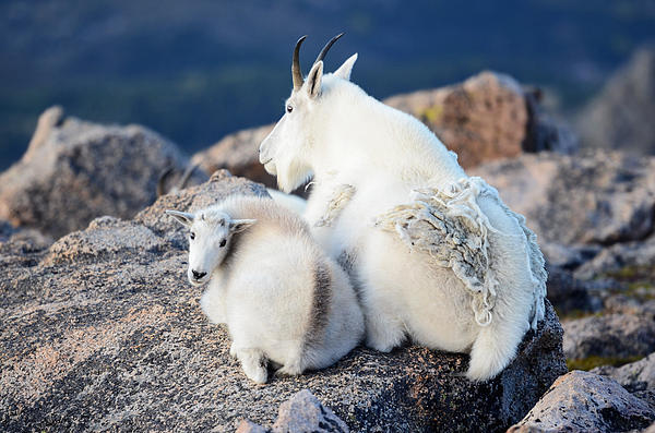 OLena Art - Rocky Mountain Goat