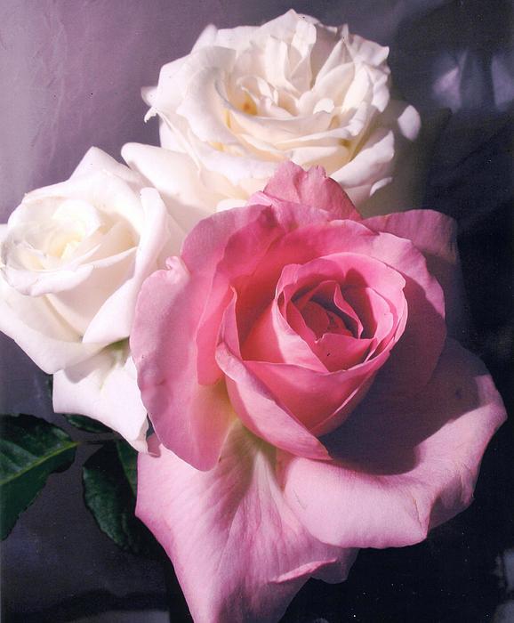 CR Bilardi - Romantic Roses