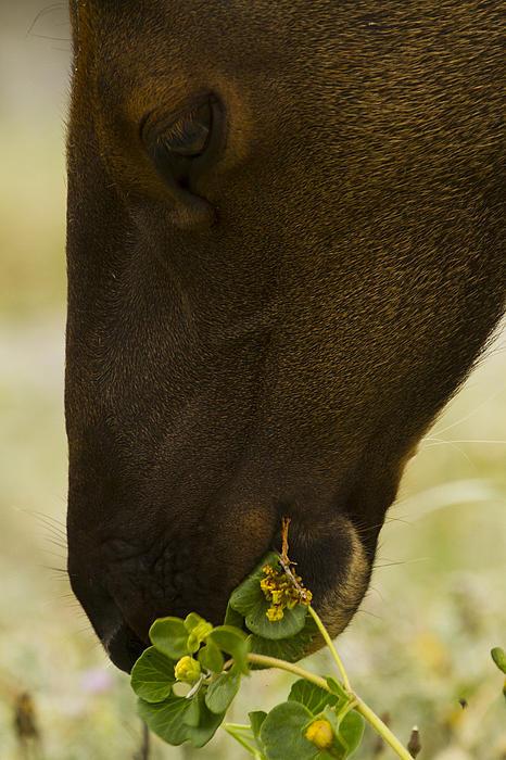 Roosevelt Elk Solemnly Feeding On The Beach Print by Phil Johnston